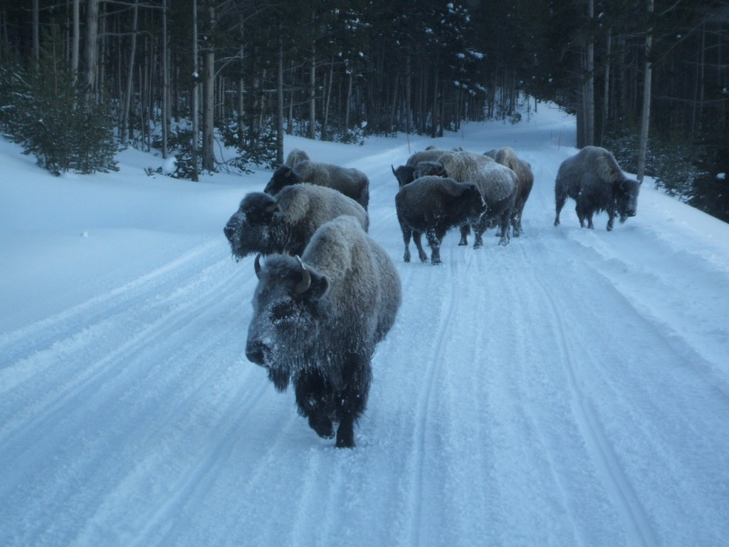 Photo of bison on the road in Yellowstone in winter