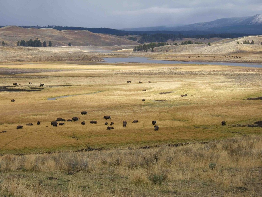 "DJ CHoupin's photograph ""plain"" shows bison at a distance in Yellowstone National Park"